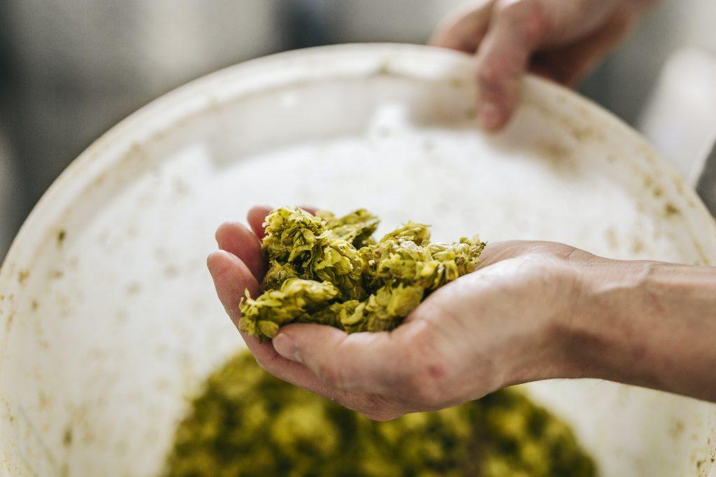 Male hand holding fresh hops